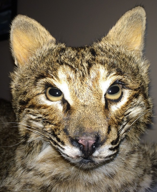 Barbour County Bobcat Harvested at Smuteye